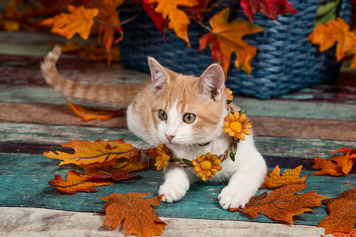 cats portrait of orange and white kitten wearing flowers by Santa Fe pet photographer Cate Goedert