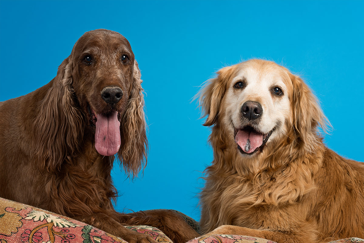 dogs portrait of Irish Setter and Golden Retriever by Cate Goedert Santa Fe New Mexico pet photographer