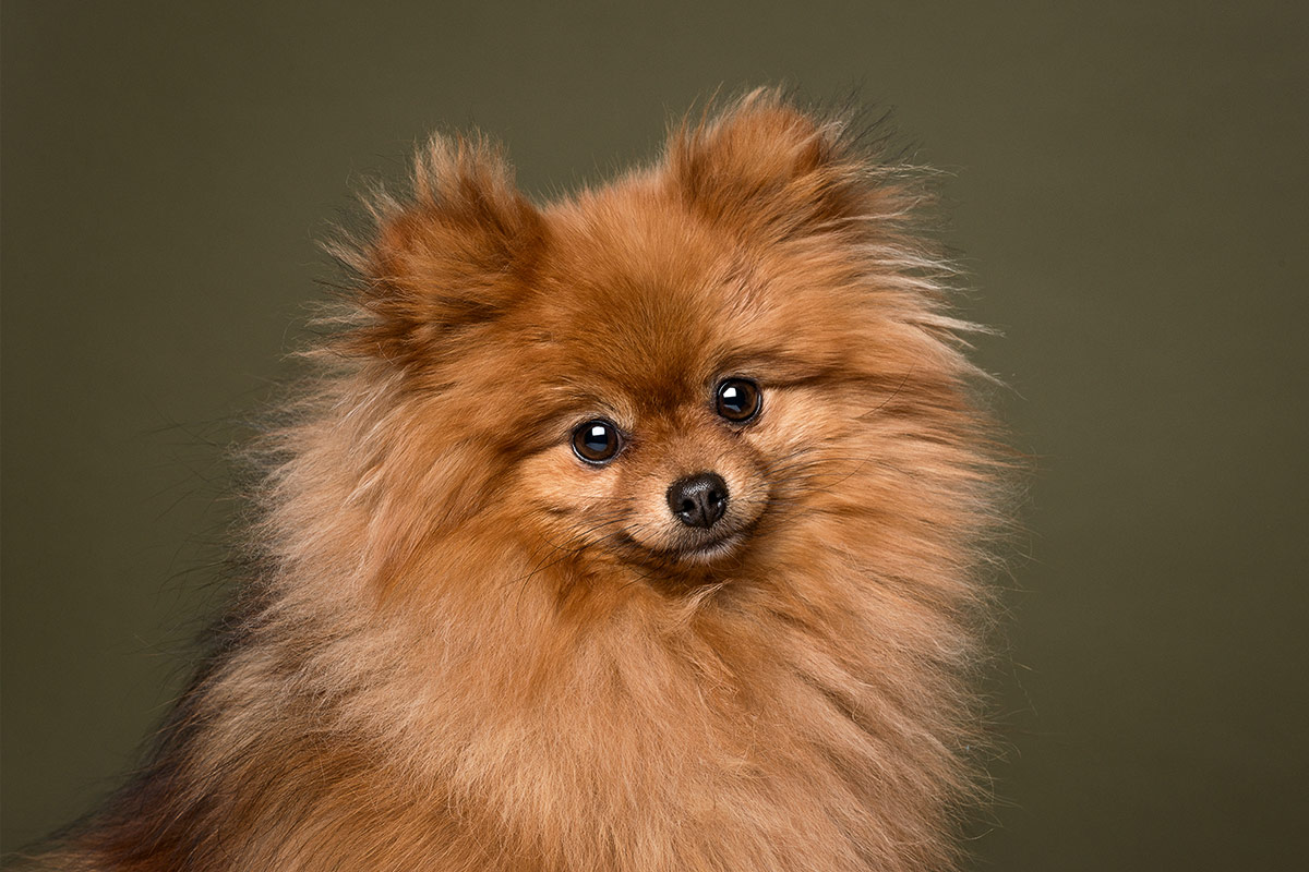 dogs portrait of sable-colored Pomeranian dog by Cate Goedert Santa Fe New Mexico pet photographer