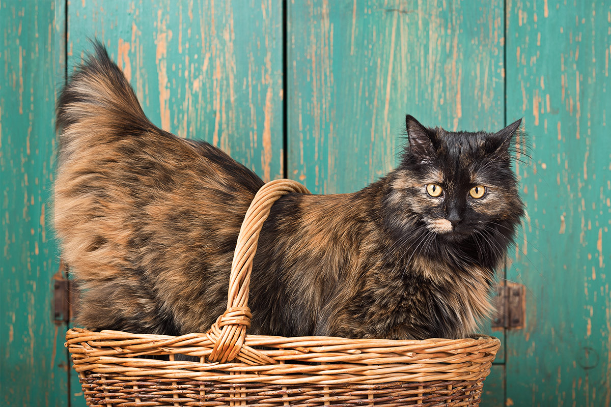 cats portrait of Mimi a tortoise-colored cat standing in basket by Cate Goedert Santa Fe New Mexico pet photographer