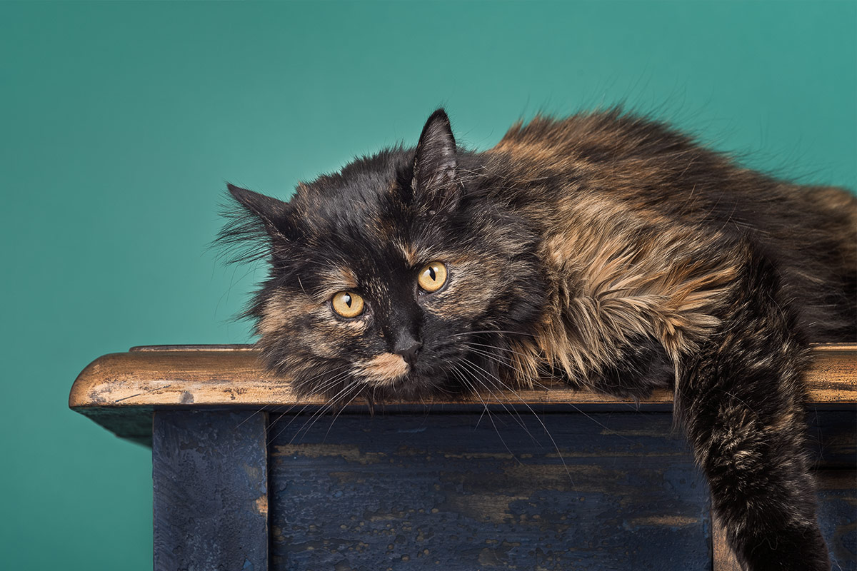 cats portrait of tortoise-colored cat lying on top of cabinet by Cate Goedert Santa Fe New Mexico pet photographer