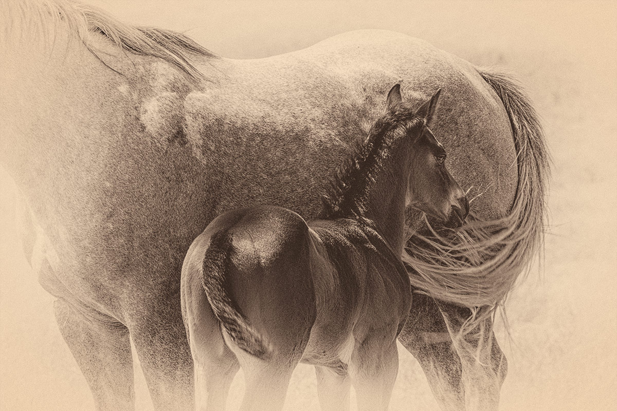 Horses sepia portrait of mare and colt photographed by Cate Goedert Santa Fe pet photographer