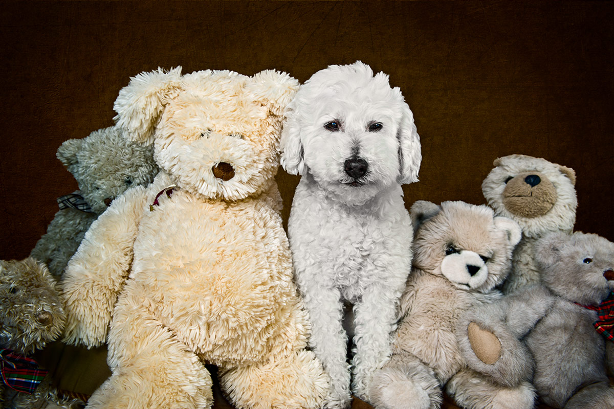 Teddy a bichon frise mix with his teddy bears photographed by Cate Goedert Santa Fe pet photographer