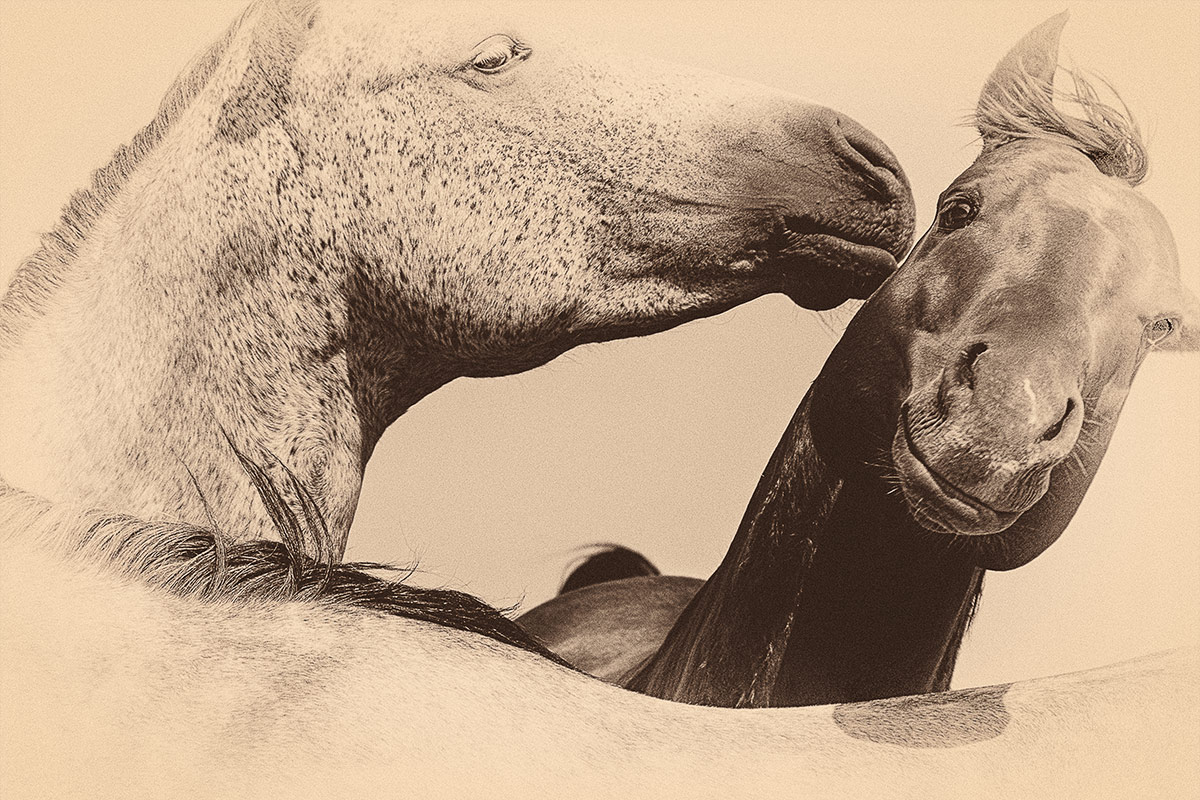Horses sepia portrait of three horses photographed by Cate Goedert Santa Fe pet photographer