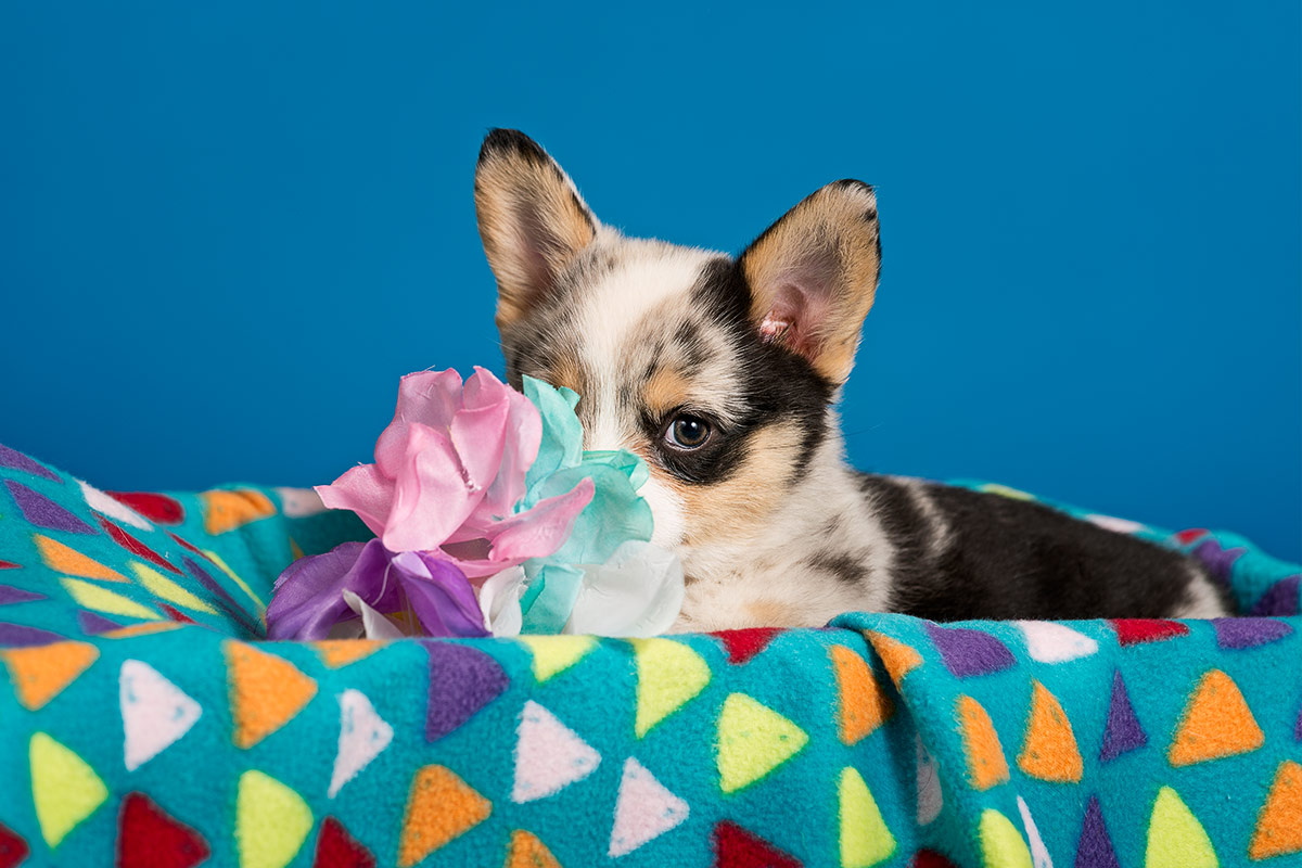 Bitsy a tricolor puppy photographed by Cate Goedert Santa Fe pet photographer