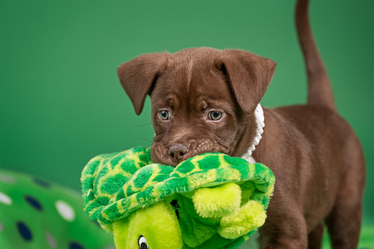 Munchkin a brown puppy carrying a green frog toy photographed by Cate Goedert Santa Fe pet photographer