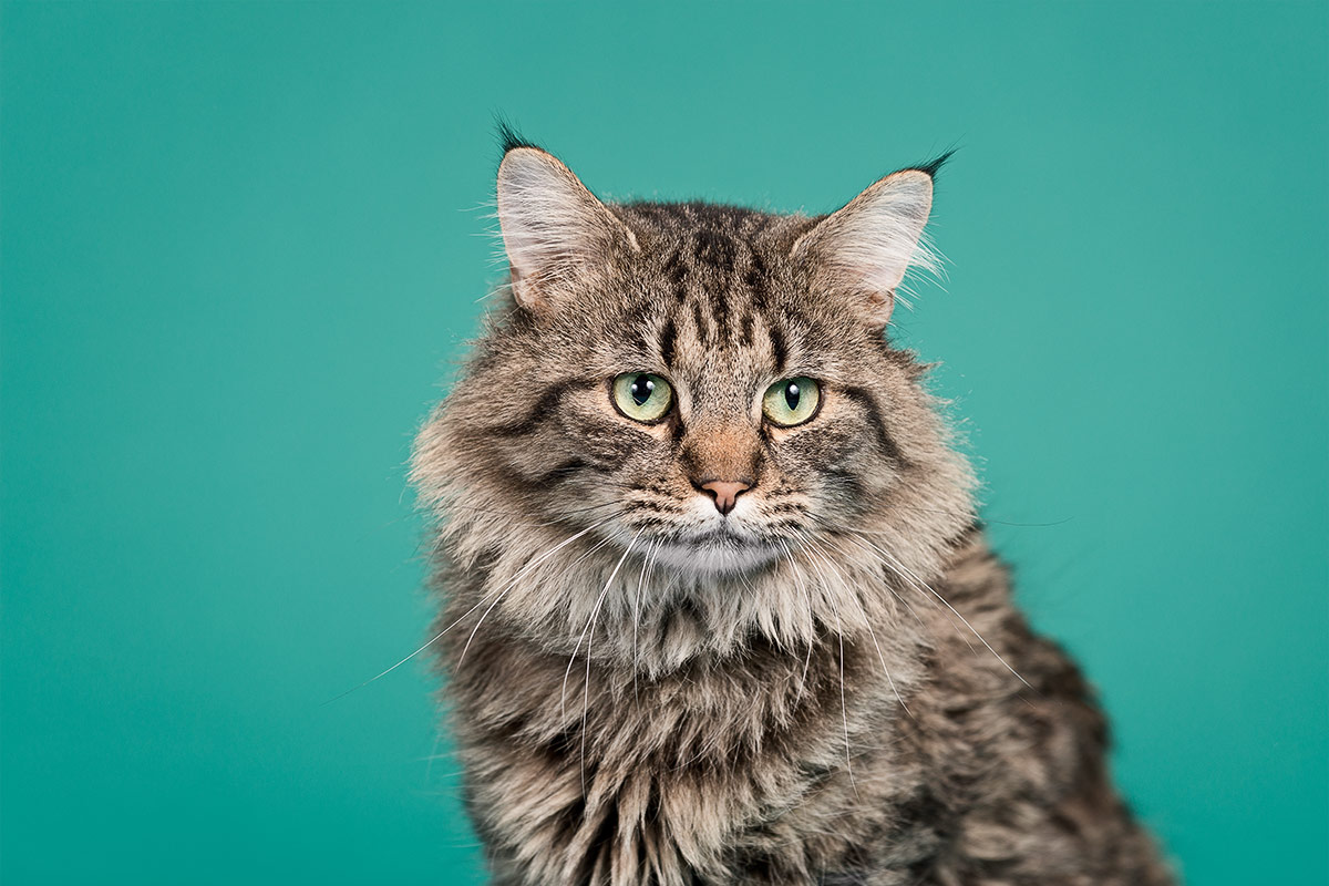 cats Rigby a Maine coon cat photographed by Cate Goedert Santa Fe pet photographer